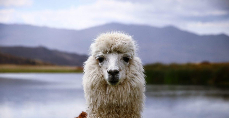 Ihr könnt jetzt gegen Spende ein Lama in den Business-Videocall einladen