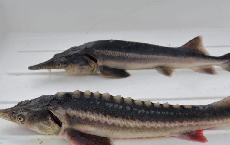 Aus Versehen: Wissenschaftler*innen kreuzen bedrohte Spezies und kreieren neuen Fisch