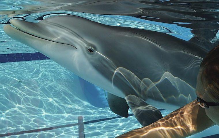 Beeindruckende Technik: Dieser Delfin ist ein Roboter und man kann mit ihm schwimmen