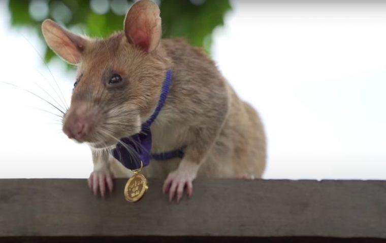Kleiner Lebensretter: Ratte Magawa erhält Tapferkeitsorden für das Aufspüren von Landminen