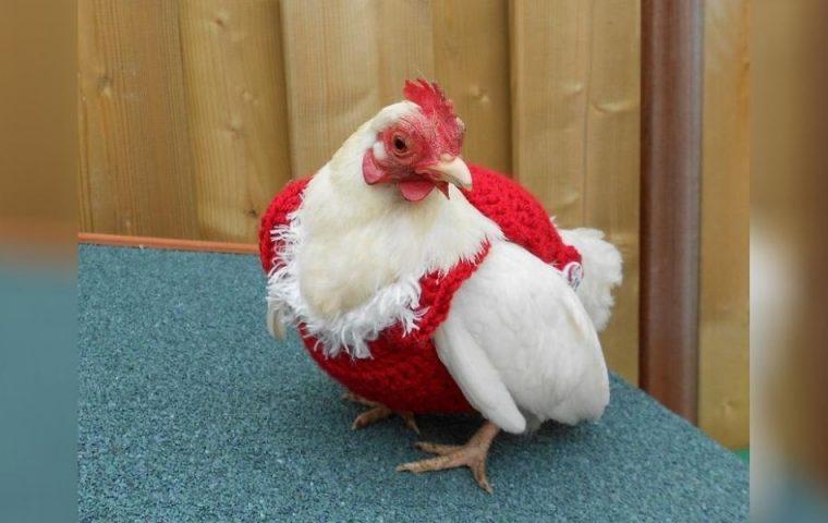 Cuteness Overload: Auf Etsy verkauft jemand gehäkelte Weihnachtspullover für Hühner
