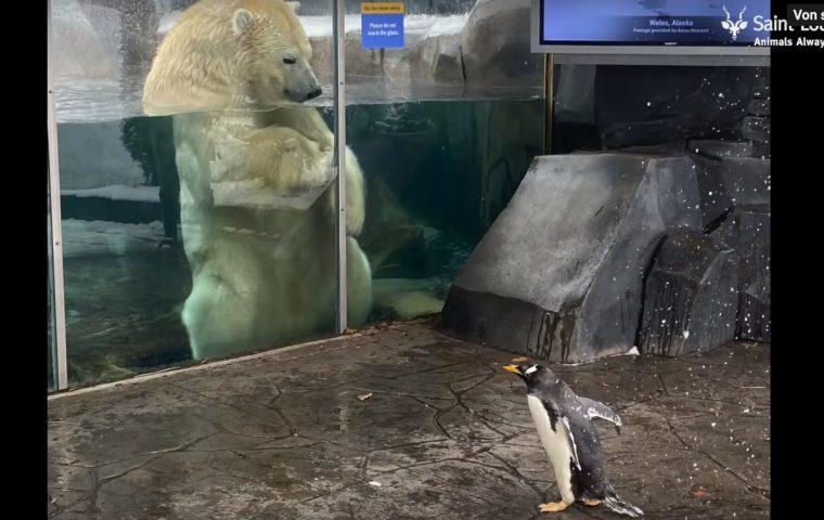 Auch diese Pinguine haben das Spazierengehen nun für sich entdeckt