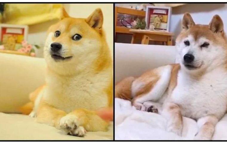 Dogecoin auf Allzeithoch – aber wie geht's eigentlich Kabosu, dem Original Doge?