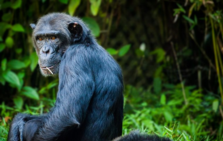 In Florida wurden Kunstwerke von Schimpansen als NFTs versteigert